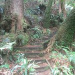 In the Otway Rain Forest - Steps to the Giant Tree