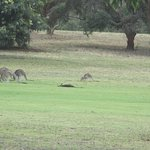 """A """"mob"""" of Kangaroos. The one is resting!"""