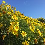 Wild flowers at Point Dume Malibu