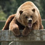 Grizzly Bear saying Hello!