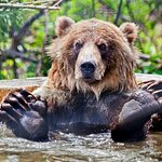 Knute the Grizzly taking a relaxing bath.