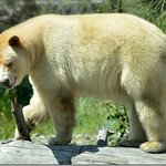 Clover the Kermode or Spirit Bear is a beautiful bear that stirs your inner spiritual nature.