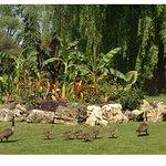 tropical mound with Canada geese