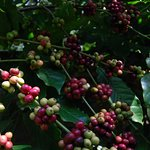 Coffee ready pick at surrounding coffee plant