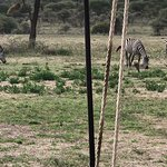 Zebra grazing in front of the lounge