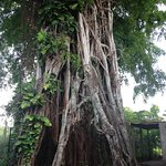 150 year old Banyan Tree, soon to be treetop cafe'