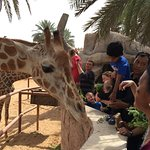 Children and enthusiasts feeding giraffes at a nominal price for grass