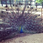 A peacock thrilled by his visitors that he decided to dance.