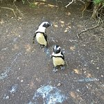 African penguins near Cape Town