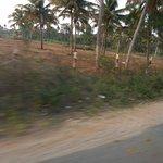 coconut tree in tirupati road
