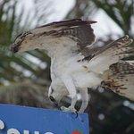 aigle pêcheur