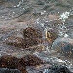 Sea turtle feeding in rocks below lanai