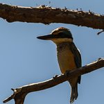 Sacred Kingfisher, taken near the resort shop
