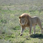 The lion walking towards the lionesses after a botched hunt