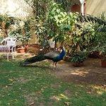 Peacocks patrol the garden