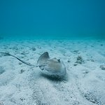 Souther stingrays were commonly seen both when diving and snorkelling