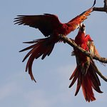 Scarlet Macaws playing 10 meters off the main deck