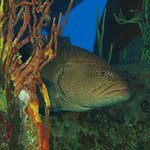 Grouper lurking in the ship
