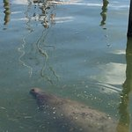 This made our trip, so see a nice old manatee our last day. Sweet soul.