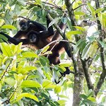 Spider monkeys from our Tree House deck