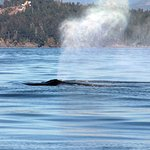 Amazing humbpack whales against a backdrop of beautiful BC