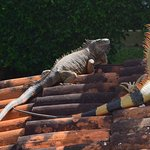 The Alpha Iguana and his woman at the Villa Blanca