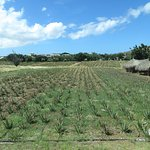 The Aloe Vera Plantation, Home of Curaloe Foto