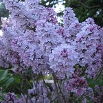 Lilacs, apple trees, and more bloom on the grounds at Cedar Hill Lodge