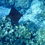 Beautiful Eagle Ray on the North Wall