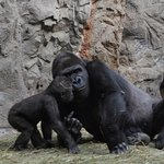 Beautiful family of gorilla's