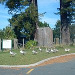 Geese crossing at start of walk