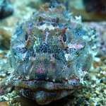 scorpionfish  or grandaddy hapuka