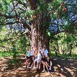 Giant Yellowwood tree, Baviaans Lodge