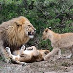 Male lion with cubs, Shamwari Game Reserve