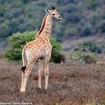 New-born giraffe, Shamwari Game Reserve