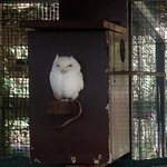 Little white owl, forgot what species.