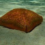 Cushion Seastar