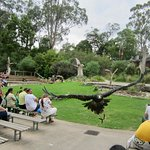 Wedge-Tailed Eagle during the show