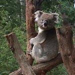 Sassy koala
