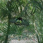 Banteay Srey Butterfly Centre Foto