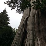 The beautiful trees of Stanley Park