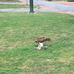 An authoritarian hawk ruling Upenn sky and showing off her claw power wild open. Seems there is