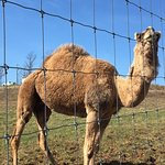 Camel on the property