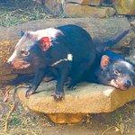 Photo de Tasmanian Devil Unzoo