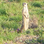 Meerkats - families amusing us wiht their antics