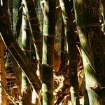 Some bamboos
