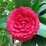 perfect camellias
