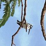 Pied kingfisher!