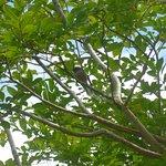 Fantail in tree