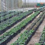 Nursery of strawberry